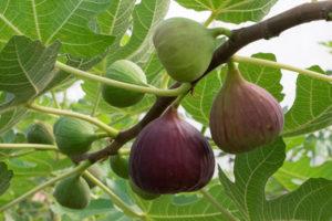 Real Fruit Fig Jam