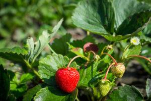Strawberry plant, mature
